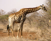 Giraffe africano Foto de Stock Royalty Free