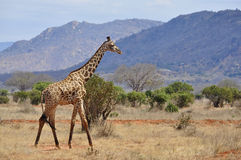 Giraffe in Afrika Stockbild