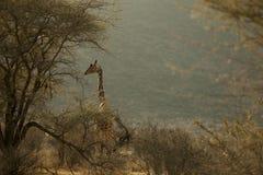Giraffe in Afrika stockbild
