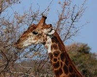 Giraffe in Afrika stockfoto