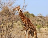 Giraffe in Afrika stockfotografie