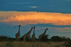 Giraffe - afrikanischer Hintergrund der wild lebenden Tiere - goldene Natur Lizenzfreie Stockfotografie