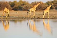 Giraffe - afrikanischer Hintergrund der wild lebenden Tiere - goldene Reflexion Stockfotografie