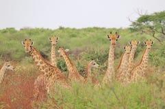 Giraffe - afrikanischer Hintergrund der wild lebenden Tiere - Herde von Hälsen Lizenzfreies Stockbild