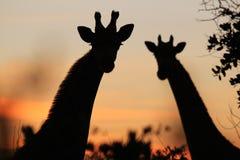 Giraffe - afrikanischer Hintergrund der wild lebenden Tiere - Schattenbilder gegen einen goldenen Himmel Lizenzfreies Stockbild