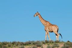 Giraffe against a blue sky stock photos