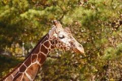 Giraffe Against Trees Stock Photography