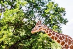 Giraffe Against Trees Stock Image