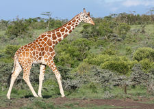 Giraffe agrainst green bushy background Royalty Free Stock Photo