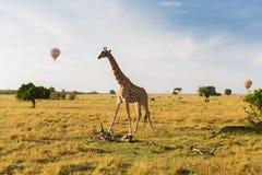 Giraffe and air balloons in savannah at africa Stock Images