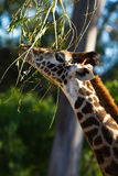Giraffe alimentant sur des branchements photos stock