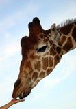 Giraffe alimentante Image libre de droits