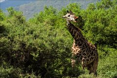 The giraffe also eats a prickly acacia. Stock Photo