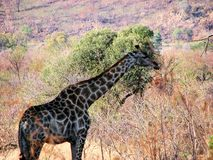 Giraffe. Amazing tall giraffe in south Africa Royalty Free Stock Photo