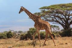 Giraffe in Amboseli, Kenya. stock photos
