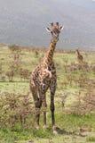 Giraffe in Amboseli national park, Kenya. Royalty Free Stock Photo