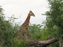 A giraffe in amongst the trees royalty free stock photos