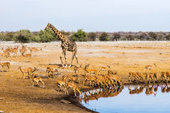Free Giraffe And Black Faced Impala Herd At Chudop Waterhole In Etosha National Park Royalty Free Stock Photography - 88433287