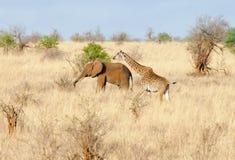 Giraffe And Elephant Making There Way Across The Savanna Stock Photos