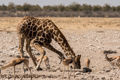 Giraffe And Gazelles In Etosha National Park Royalty Free Stock Photos