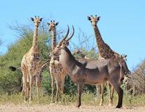 Giraffe And Waterbuck - African Wildlife Gathering Stock Photos