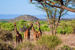 Giraffe animal in a national park. In Kenya Royalty Free Stock Image
