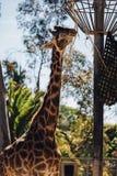 Giraffe. Animal in San Diego Zoo Stock Images