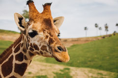 Giraffe. Animal in San Diego Zoo Stock Photography