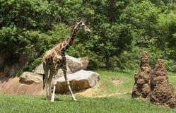 Giraffe and anthills Stock Image