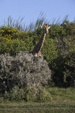 Giraffe Antics Στοκ εικόνες με δικαίωμα ελεύθερης χρήσης