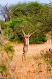 Giraffe Antilope Στοκ Εικόνες