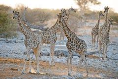 Giraffe approaching a waterhole at sunset Stock Photos