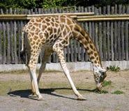 Free Giraffe Artiodactyl Mammal Herbivorous Neck Eyelash Royalty Free Stock Photo - 54219685