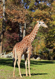 Giraffe. At the Asheboro Zoo in North Carolina stock images