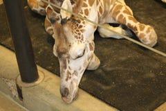 Giraffe asleep in enclosure. Giraffe with head through bars while lying asleep in zoo enclosure Stock Photos