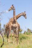 Giraffe attraversate Fotografie Stock Libere da Diritti