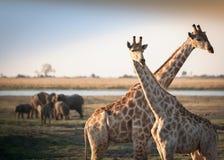 Giraffe attraversate con gli elefanti immagine stock libera da diritti