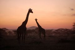 Giraffe au coucher du soleil Images stock