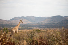 Giraffe auf dem Ausblick Lizenzfreies Stockbild
