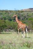 Giraffe auf einem Hintergrund des Grases Stockfoto