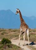 Giraffe auf einem Weg Stockfoto