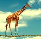 Giraffe auf Seil stockfotografie