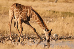Giraffe auf waterhole Lizenzfreie Stockbilder