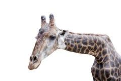 Giraffe auf weißem Hintergrund Stockbild
