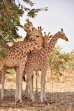 Giraffe avec deux chéris, Koure, Niger Photographie stock