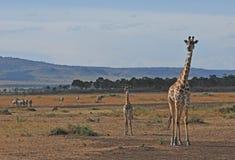 Giraffe avec l'animal - Serengeti (Tanzanie, Afrique) Images stock