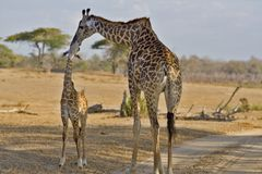 Giraffe avec l'enfant en bas âge Photos stock