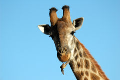 Giraffe avec l'oxpecker redbilled photos stock