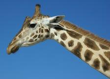 Giraffe avec le fond bleu Photos libres de droits