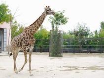 Giraffe in  aviary, Safari Park Taigan, Crimea. Stock Photo